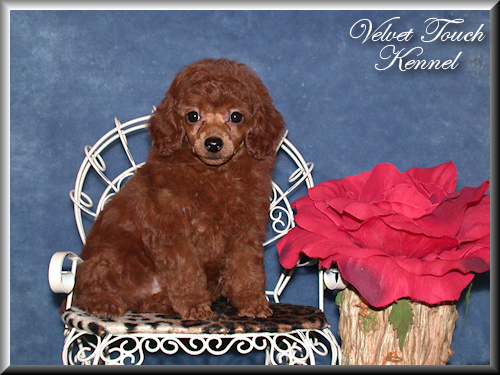 Toy Poodle Puppy For Sale!