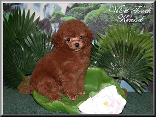 Tiny Toy Poodle Puppy Sold!