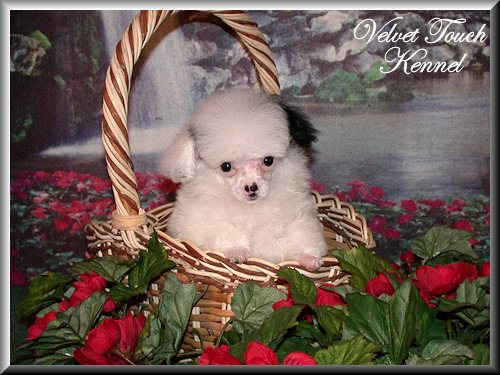 Tiny Teacup Poodle Puppy For Sale!