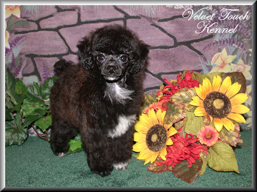 Tiny Toy Poodle Puppy For Sale!